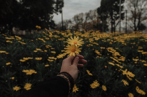 The person behind the camera holding two yellow daisies amongst a whole field of yellow daisies.