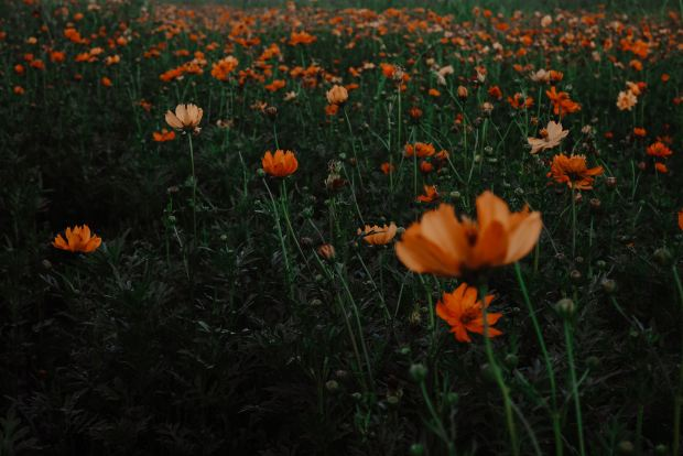 A field of orange flowers, petals turned up.
