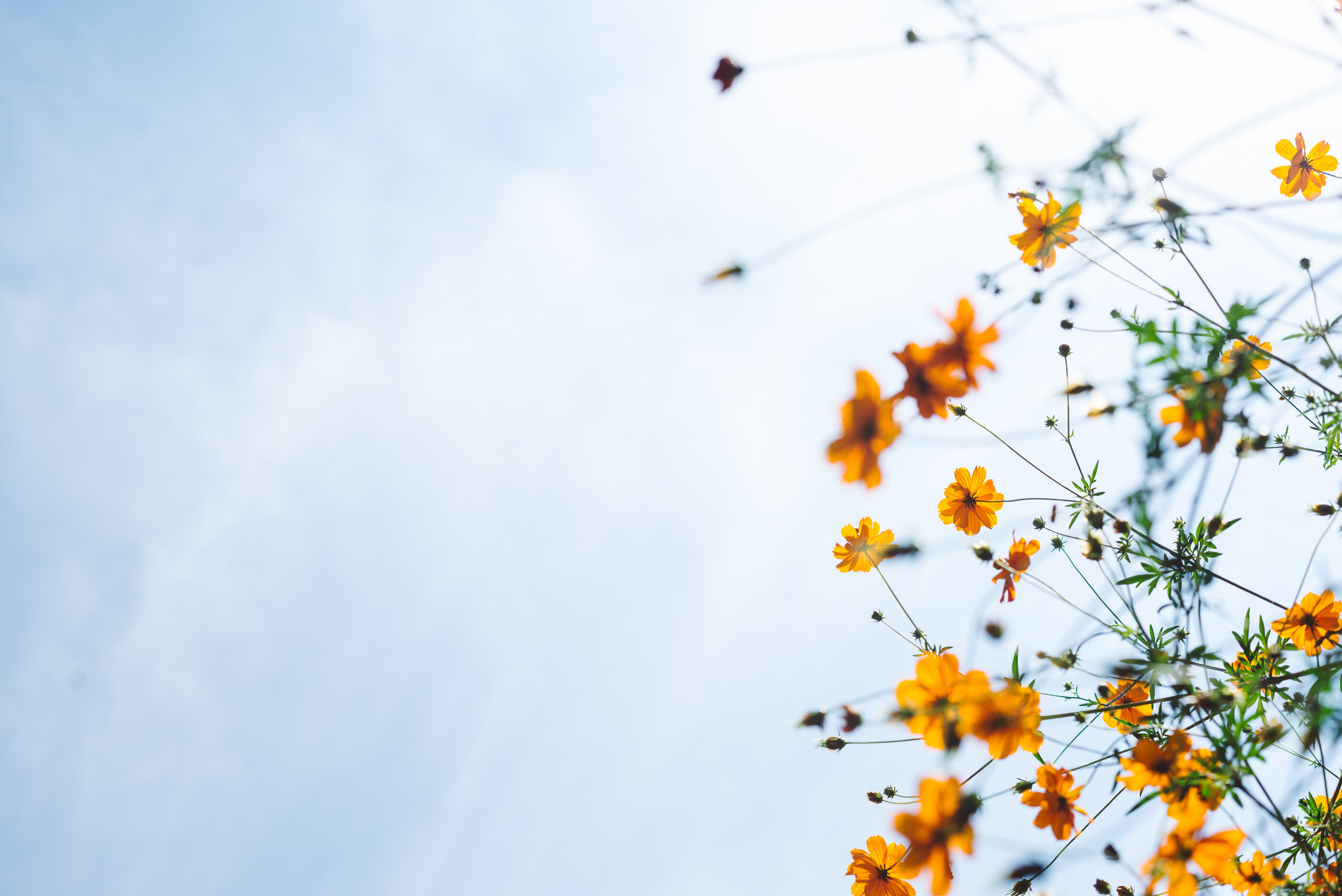 Sideways photo of budding yellow flowers against a partly cloudy sky.